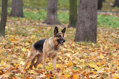 Dog in the autumn wood Royalty Free Stock Images