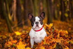 Dog in autumnal scenery. Portrait of french bulldog in autumnal scenery Royalty Free Stock Photo