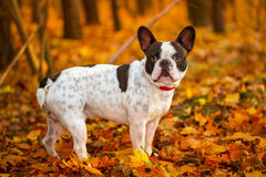 Dog in autumnal scenery Royalty Free Stock Photo
