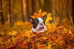 Dog in autumnal scenery Royalty Free Stock Images