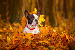 Dog in autumnal scenery Stock Photography
