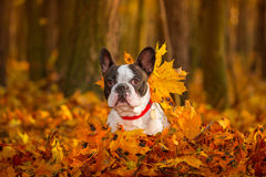 Dog in autumnal scenery Royalty Free Stock Image