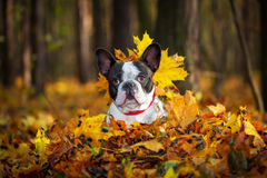 Dog in autumnal scenery. Portrait of french bulldog in autumnal scenery Stock Image