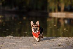 Dog avelcorgien i bakgrunden av sjön Fotografering för Bildbyråer