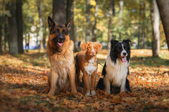 Dog aveln Border collie och den tyska herden och Nova Scotia Duck Tolling Retriever Arkivfoto