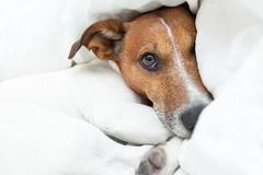 Dog awake Stock Photography
