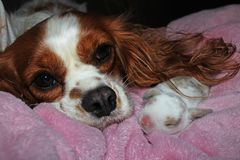 Dog and baby bunny new born rabbit kit. Cavalier king charles spaniel puppy and lop animals together. Cute stock images