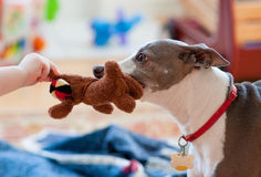 Dog and baby playing tug of war Stock Photos