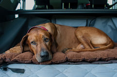 Dog in the back of car. A Rhodesian ridgeback dog lying on his bed in the back of a SUV car Royalty Free Stock Photo