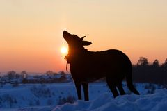 Dog back light silhouette in sunset. Sunny winter evening Stock Images