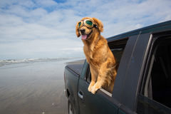 Dog in the back seat Stock Photography