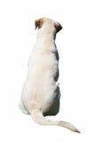 Dog back. The sweet labrador beige shoulder looking away Stock Image