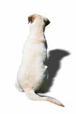 Dog back. The sweet labrador beige shoulder looking away Royalty Free Stock Photography