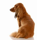 Dog with back to viewer Royalty Free Stock Photo