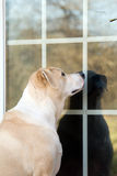 Dog at backdoor. Yellow labrador retriever mix dog waiting to be let in back door stock images