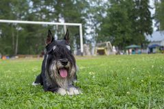 Dog on the background of a football goal stock image