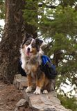 Dog with Backpack Stock Images