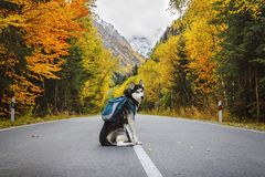 Dog with a backpack on the road stock images