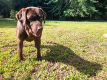 Dog in the backyard. A dark brown dog in the backyard Stock Photo