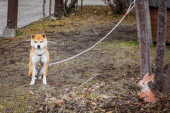Dog in backyard. Hanging by a rope, Japan royalty free stock image