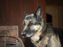 Dog In Bad Mood. Shepherd dog sitting in bad mood, home interior in the background Royalty Free Stock Photos