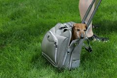 Dog in a bag. Because of the extreme heat this dog owner thought her dog would be safer in her bag Stock Photography