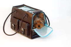 Dog in a Bag. Yorkshire Terrier looking out of a brown and blue purse Stock Image