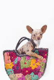 Dog in a bag. Small chihuahua dog in a colorful bag with colour flowers Royalty Free Stock Photos