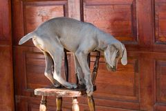Dog balancing on chair Stock Photography