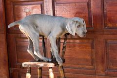 Dog balancing on chair Stock Images