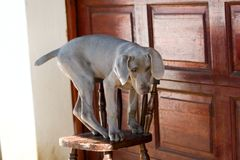 Dog balancing on chair Stock Photos