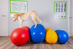 Dog balancing over inflatable ball in physical therapy. At a vets office royalty free stock photos