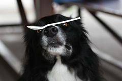 Dog balancing plastic spoon. Border collie balancing a plastic spoon on its nose Royalty Free Stock Photo