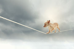Dog balancing on rope Stock Photography