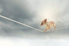 Dog balancing on rope Stock Photography