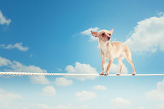 Dog balancing on rope Stock Images