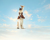 Dog balancing on rope Royalty Free Stock Images