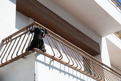 Dog at balcony Stock Images