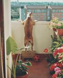 Dog on balcony. Dog wants to see what is going on downstairs Stock Photos
