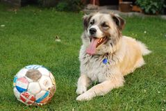 Dog with ball Stock Photos