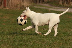 Dog with ball. Black and white dog keeps ball Stock Photo