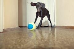 Dog and ball Stock Image