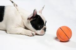 Dog with a ball. Little dog with a ball stock image