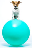 Dog on ball Stock Photography