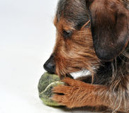 Dog with ball Stock Images