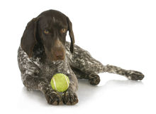 Dog with a ball Stock Image