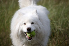 Dog and ball. Samoyed dog with a tennis ball in its mouth Royalty Free Stock Images