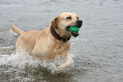 Dog with ball. At teeth runs on water Royalty Free Stock Image