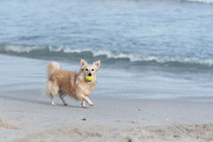 Dog with ball on beach Stock Images