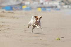 Dog Ball Chasing. Jack Russell Terrier Running On The Beach With His Favorite Toy royalty free stock photo